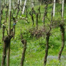 Naučite orezivati vinovu lozu